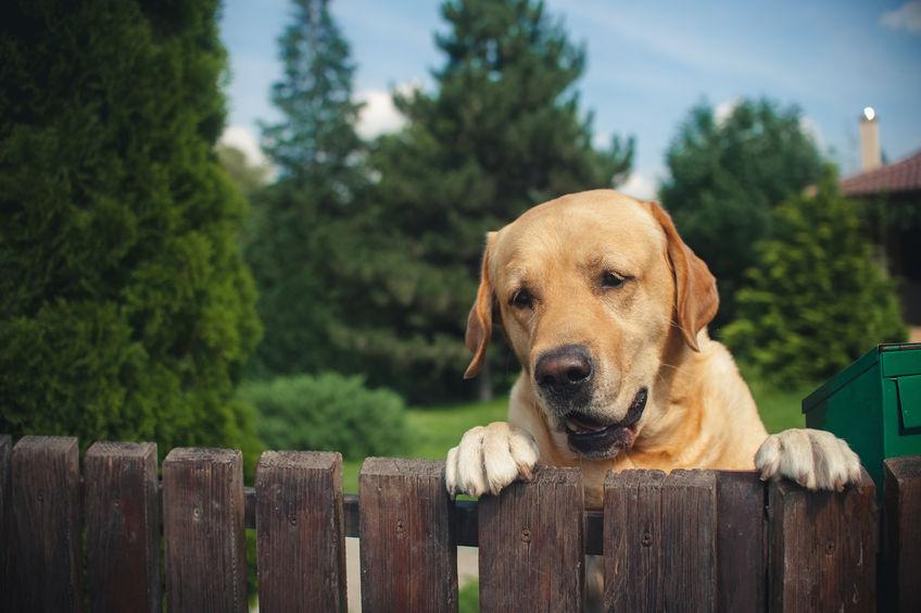 perro labrador espiando desde detrás de una valla en verano